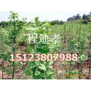 自产自销银杏苗 种苗 100(%)