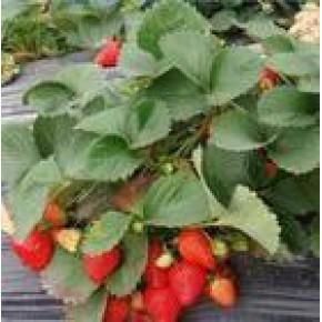 红颜草莓苗,丰香草莓苗,山东草莓苗 ,山东优质草莓苗