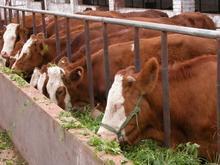 山东振强牧业大型牛羊养殖基地