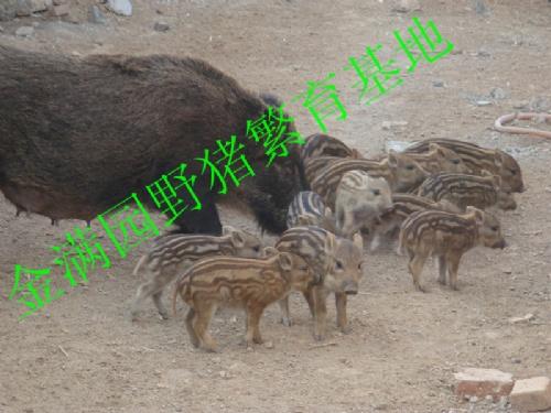 广饶县金满园野猪繁育场