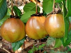 南平高产油茶苗繁育基地